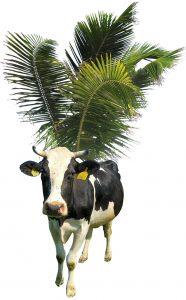 Caribische koe